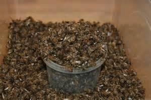 Пчелиный подмор – это умершие от возраста пчелы