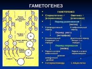 Сперматогенез и овогенез