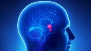 Пролактин вырабатывается в передней верхней доле гипофиза