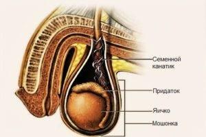 Что такое семенной канатик - анатомия, состав и оболочки